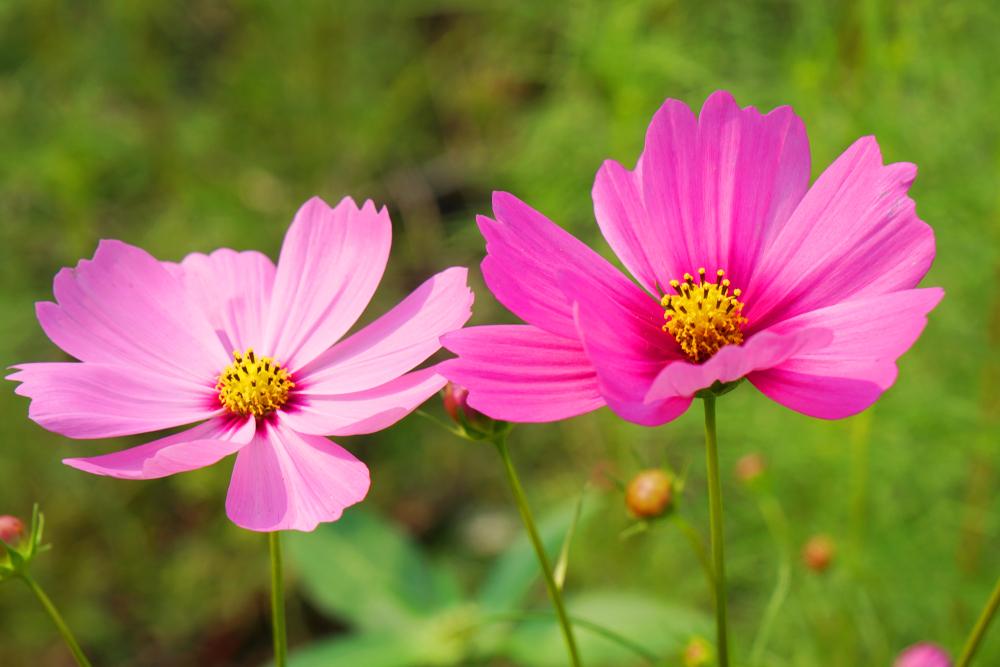 cosmos, eenjarigen zaaien, bloemen, zaaien, voorjaar, tuinen.nl