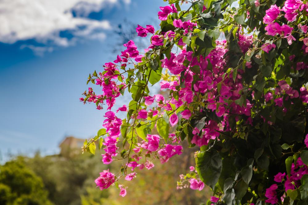 Bougainvillea, mediterrane sfeer, tuinen.nl