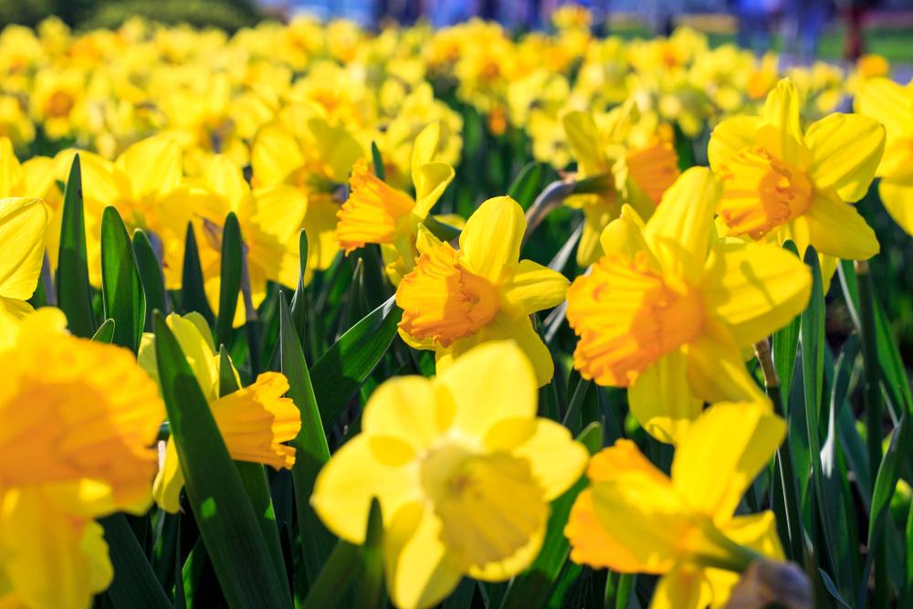 Narcissen, geel, narcis, tuinen.nl