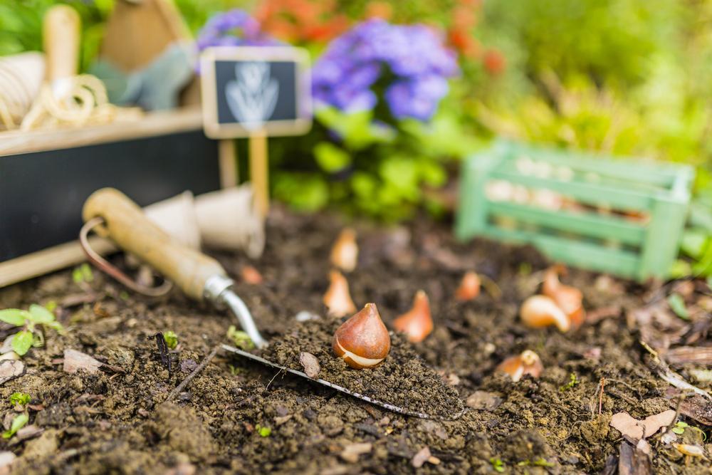 tulp, tulpen, bollen, voorjaar, planten, tuinen.nl