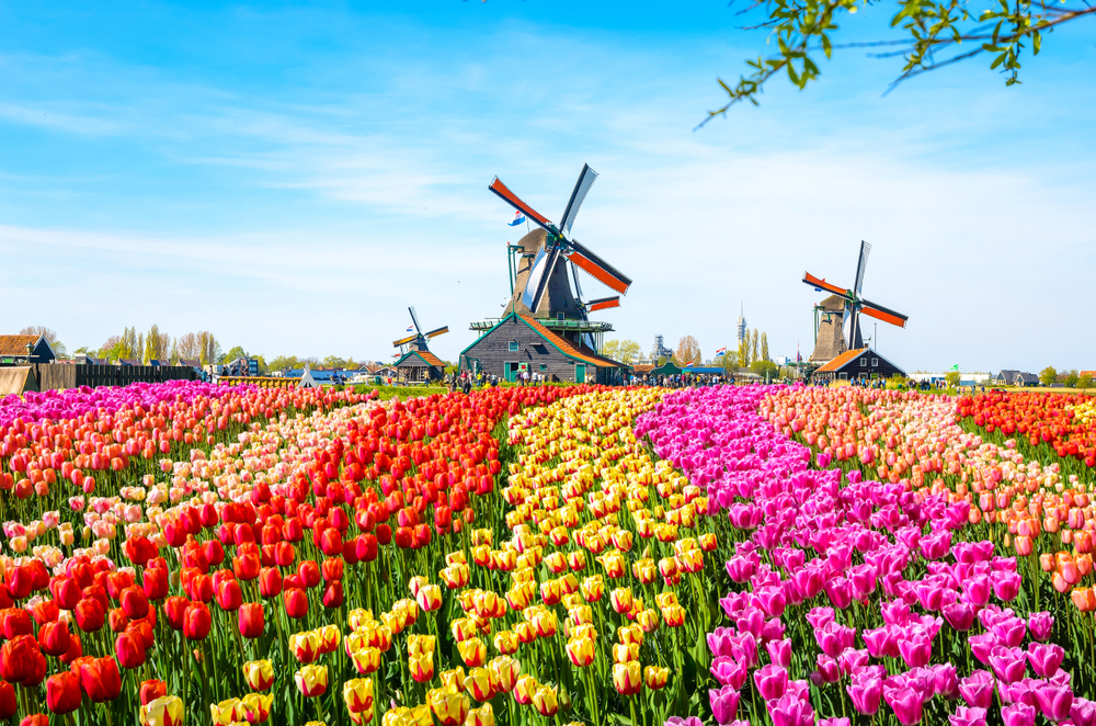 tulp, tulpen, amsterdam, kleurrijk, voorjaar, bollen, tuinen.nl