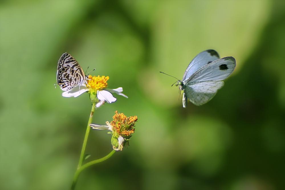Vlinders, vlinderlokkende planten,