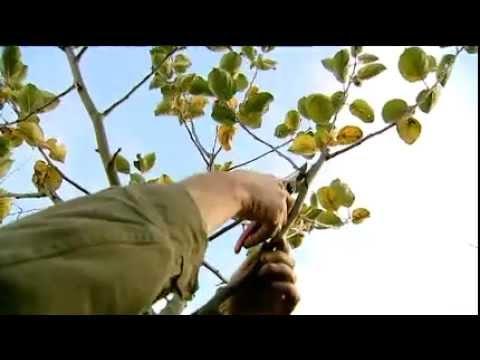 Video appelboom snoeien in november en december