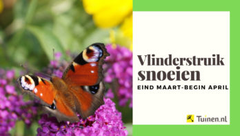 Video vlinderstruik snoeien eind maart - begin april