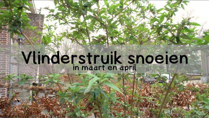 Video vlinderstruik snoeien eind maart – begin april