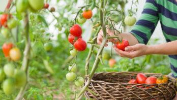 Tomaten oogsten en bewaren