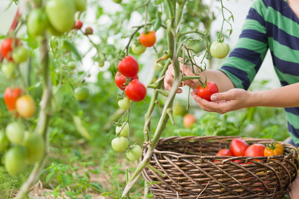 Tomaten kweken, tomaten. moestuin, planten, zaaien, oogsten, tuinen.nl