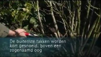 Video hibiscus snoeien in maart en april