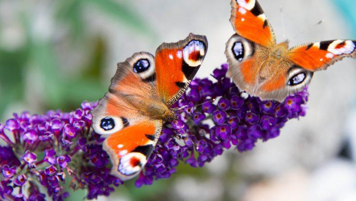 Tips voor meer vlinders in de tuin