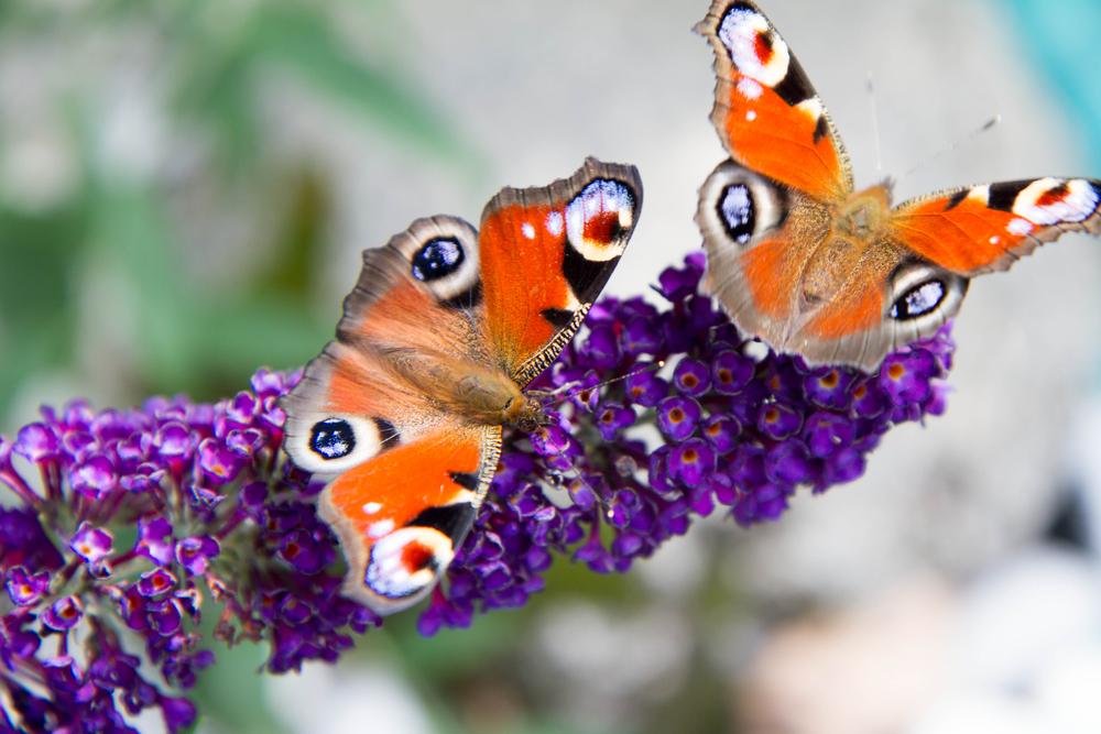vlinderstruik, vlinders, buddleja davidii