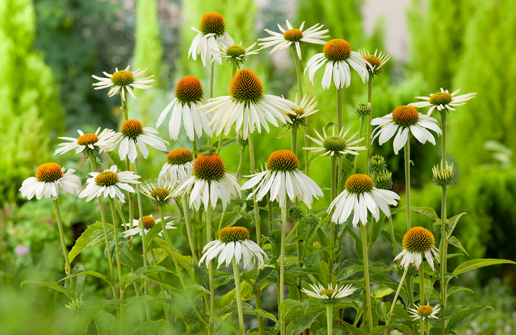 Witte Vaste Planten.Herfstbloeiende Vaste Planten Tuinen