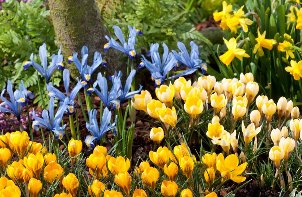 Bollen Bloeiend Voorjaar : Voorjaarsbollen planten tuinen