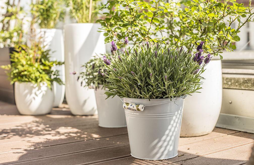Lavendel In Grote Pot.Lavendel In Potten Of Bakken Tuinen