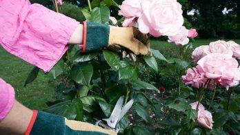 Rozen verzorgen in de zomer en herfst