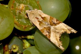 Nachtvlinder agaatvlinder