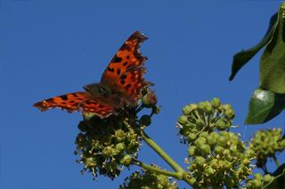 Vlinder klimop
