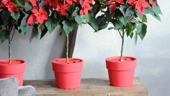 Aanschaf- en verzorgingstips voor kerststerren