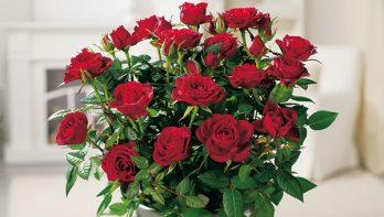 Engelse rozen en Oude rozen