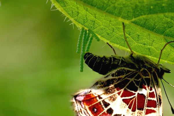Vlinders in de tuin, brandnetel