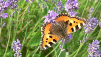 Er zijn super veel vlindersoorten