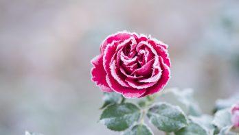 Een goede start voor rozen
