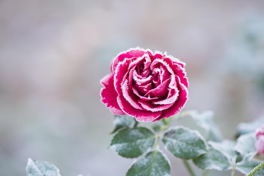 Rozen verzorgen, roos, winter,