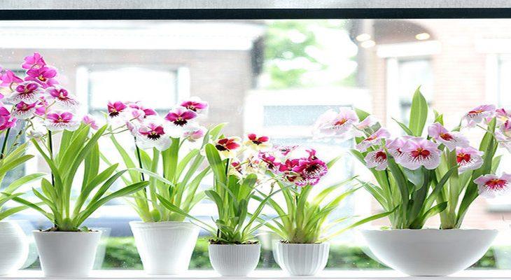 Viooltjesorchidee Miltonia