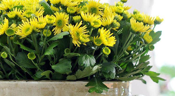 Potchrysant als kamerplant