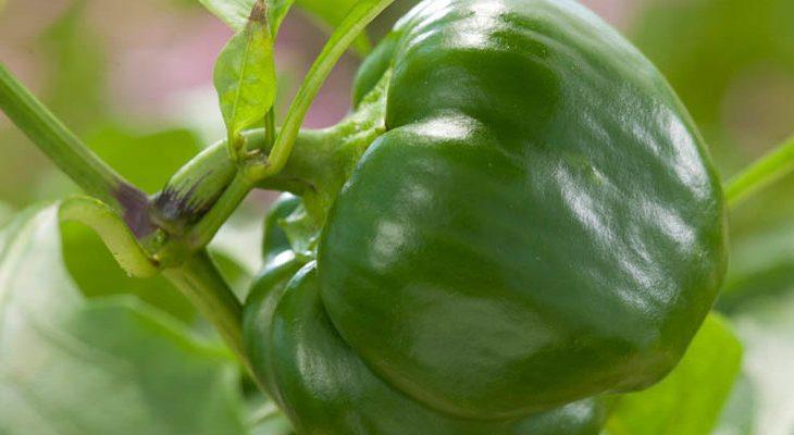 Zelf paprika kweken