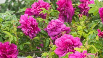 Ziekten en plagen bij rozen