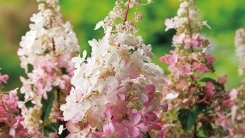 Zet je tuin gratis vol pluimhortensia's