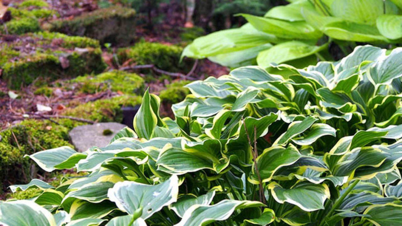 Onwijs Schaduwplanten op droge grond - Tuinen RA-36