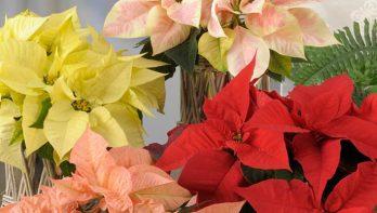 Kerstster Euphorbia Pulcherrima