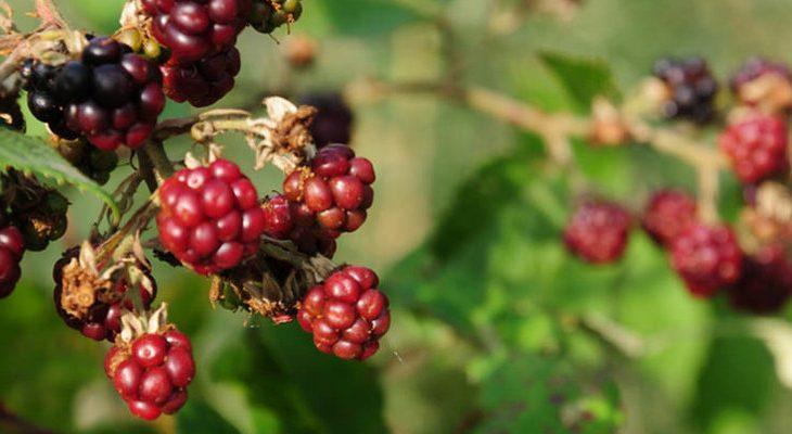 Rode vruchtziekte door bramengalmijt voorkomen en bestrijden