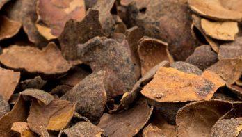 Cacao als onkruid en slakkenwerende bodembedekker