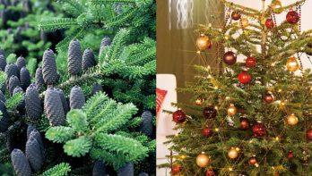 Van kerstboom naar tuinconifeer