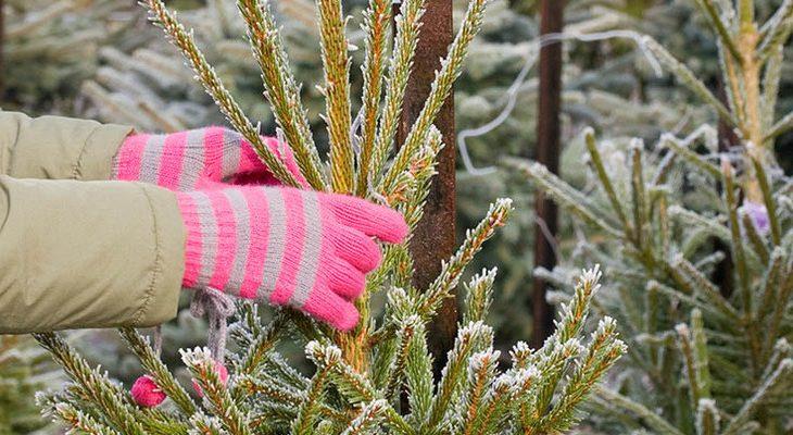 Het aanschaffen en verzorgen van een kerstboom