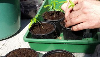 Tomatenplantjes verspenen