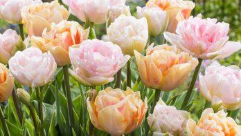Tulp: Alles over deze bijzondere bloem