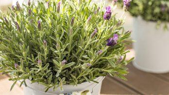 Lavendel in potten of bakken