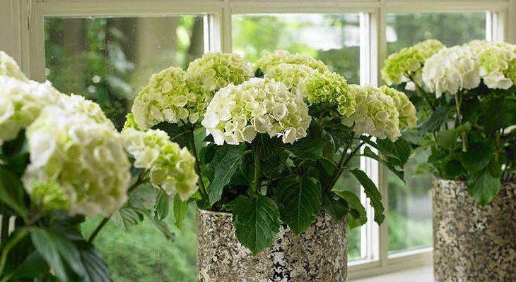 Hortensia als kamerplant