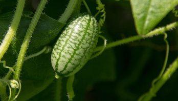 Zelf muizenmeloentjes kweken