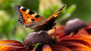 Vlinderlokkende planten