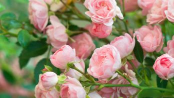 Bos rozen stekken tot een rozenstruik