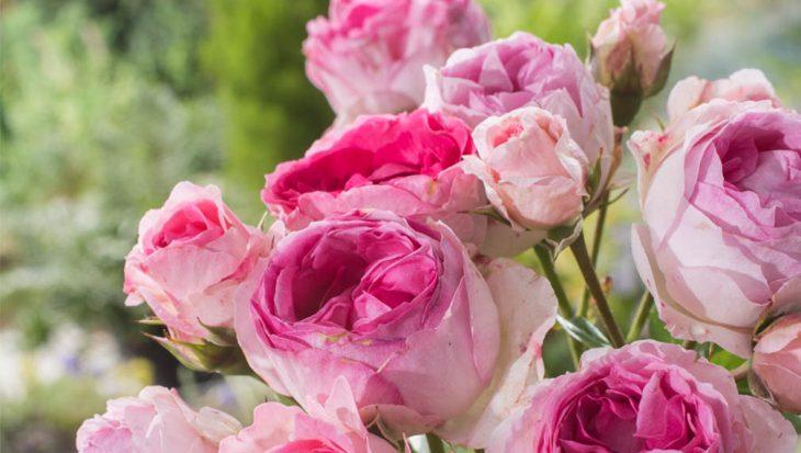 Geurende rozen
