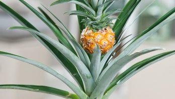 Kweek je eigen ananasplant