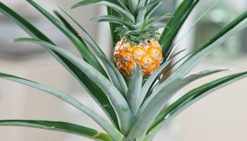 ananas, plant, ananasplant, zelf kweken