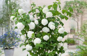 Sneeuwbal viburnum
