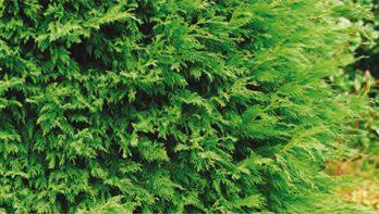Coniferenhagen snoeien