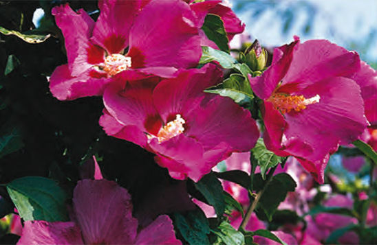 stappenplan_hibiscus_snoeien_8_CYL_0